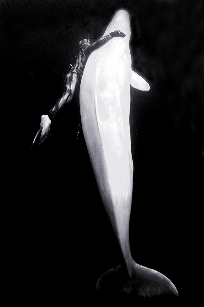 Beluga whales in the white sea . Russia