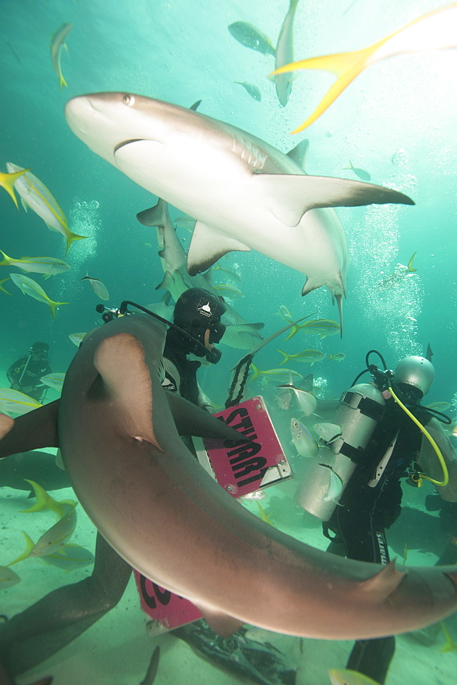 Shark feeding at Stuart Cove, Bahamas, West Indies, Central America - 934-704