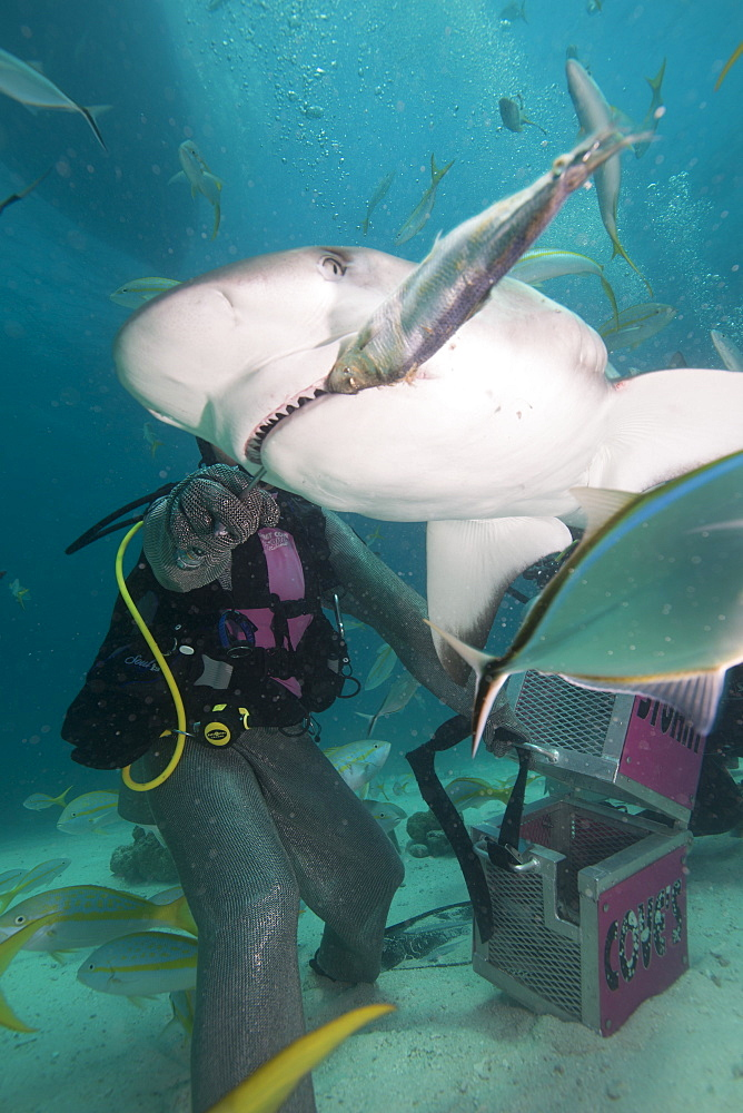 Shark feeding at Stuart Cove, Bahamas, West Indies, Central America - 934-719