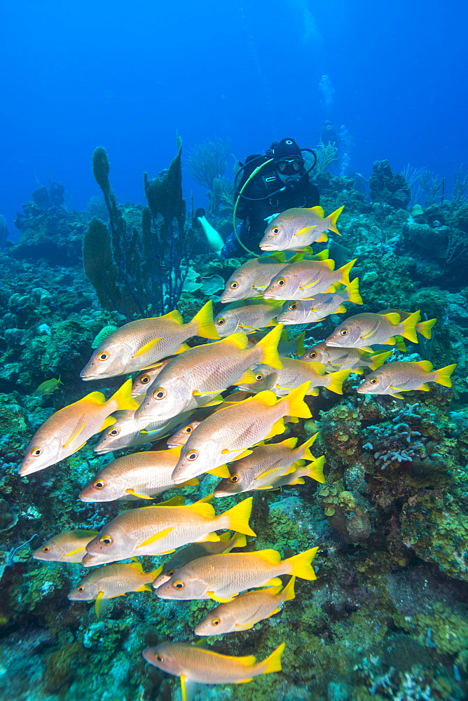 Diver watching schooling snapper fish in Turks and Caicos Islands, West Indies, Central America - 934-733