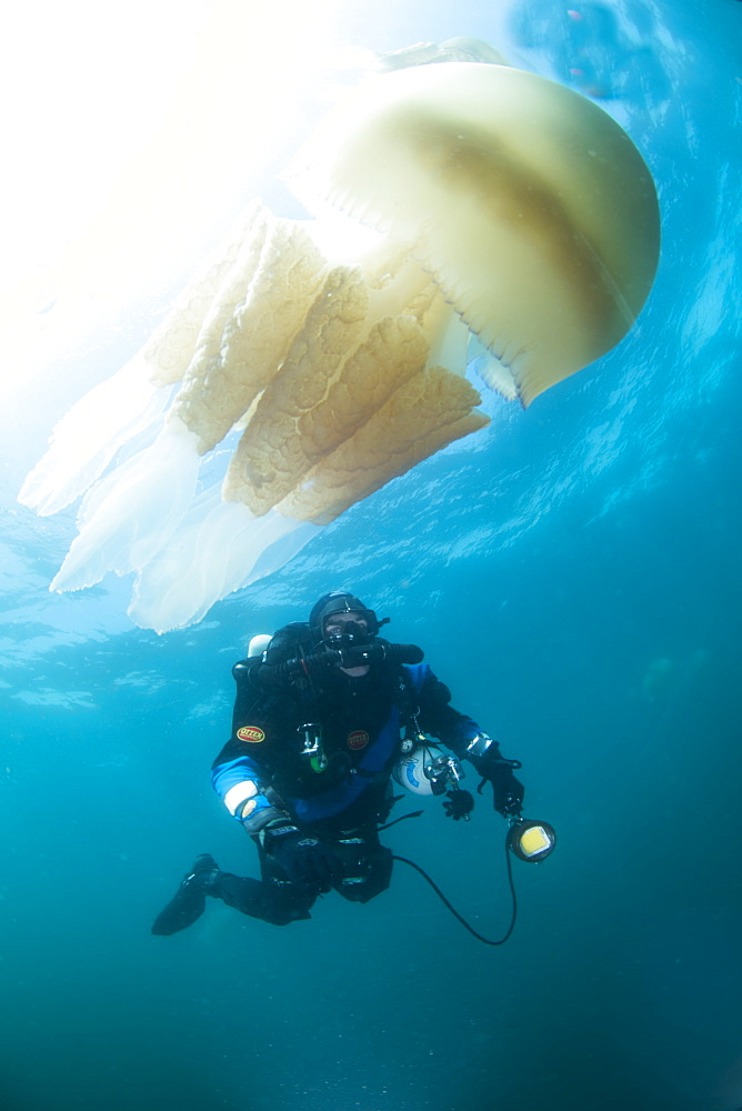 Diver with giant barrel jellyfish off the South Coast, Devon, England, United Kingdom, Europe - 934-759