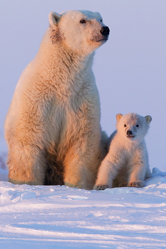 Polar bear (Ursus maritimus) and cub, Wapusk National Park, Churchill, Hudson Bay, Manitoba, Canada, North America  - 938-13
