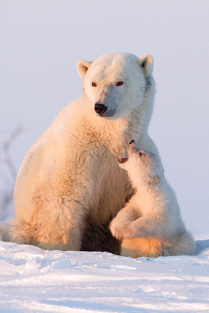 Polar bear (Ursus maritimus) and cub, Wapusk National Park, Churchill, Hudson Bay, Manitoba, Canada, North America  - 938-14