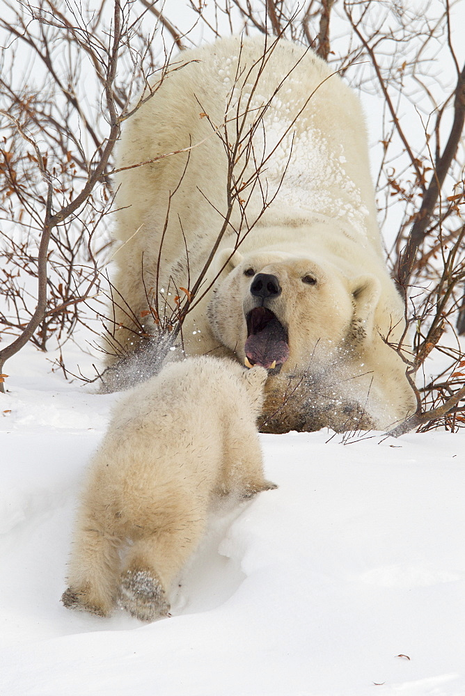 Polar bear (Ursus maritimus) and cub, Wapusk National Park, Churchill, Hudson Bay, Manitoba, Canada, North America  - 938-19