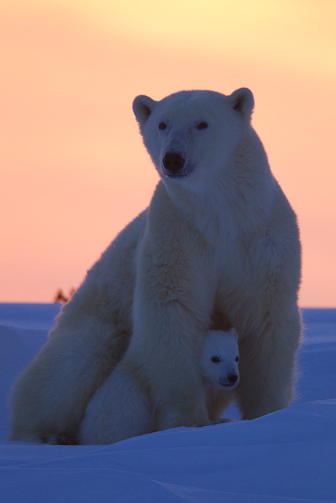 Polar bear (Ursus maritimus) and cub, Wapusk National Park, Churchill, Hudson Bay, Manitoba, Canada, North America  - 938-23