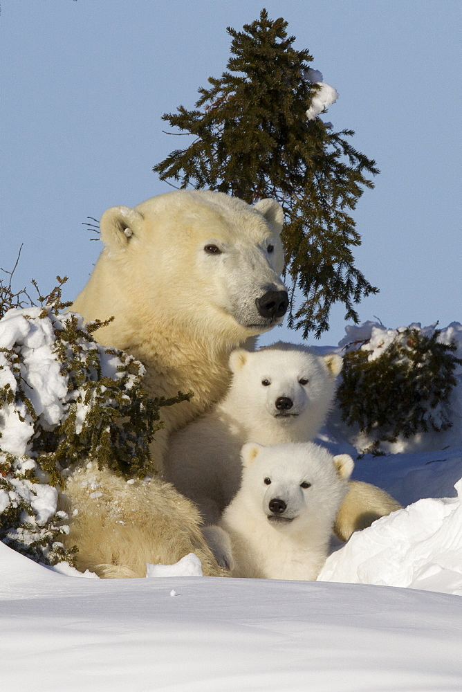 Polar bear (Ursus maritimus) and cubs, Wapusk National Park, Churchill, Hudson Bay, Manitoba, Canada, North America  - 938-39