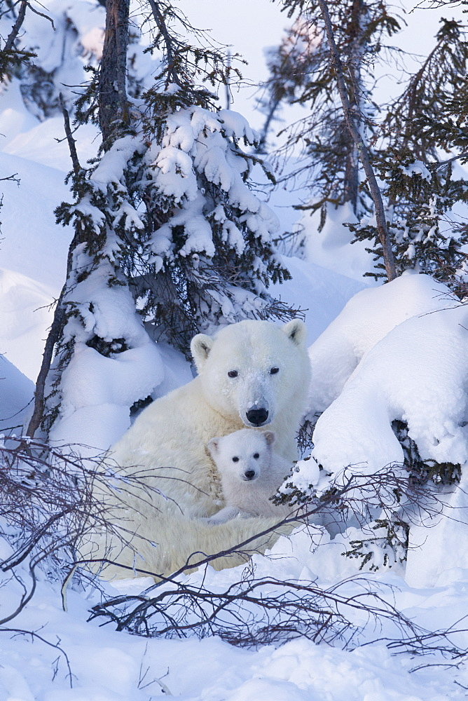 Polar bear (Ursus maritimus) and cubs, Wapusk National Park, Churchill, Hudson Bay, Manitoba, Canada, North America - 938-45