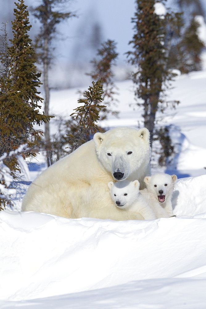 Polar bear (Ursus maritimus) and cubs, Wapusk National Park, Churchill, Hudson Bay, Manitoba, Canada, North America - 938-46