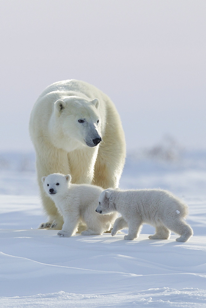 Polar bear (Ursus maritimus) and cubs, Wapusk National Park, Churchill, Hudson Bay, Manitoba, Canada, North America - 938-58