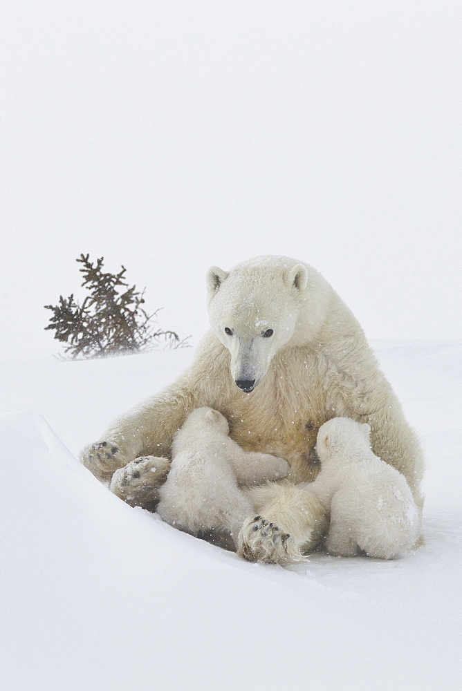 Polar bear (Ursus maritimus) and cubs, Wapusk National Park, Churchill, Hudson Bay, Manitoba, Canada, North America - 938-64