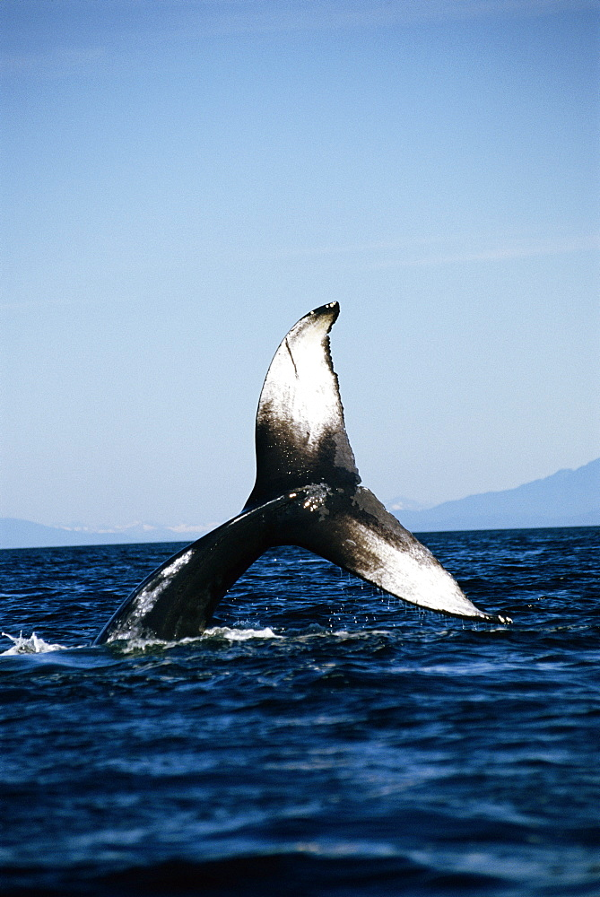 Humpback whale (Megaptera novaeangliae) wth tail flukes high in the air. Alaska - 939-11