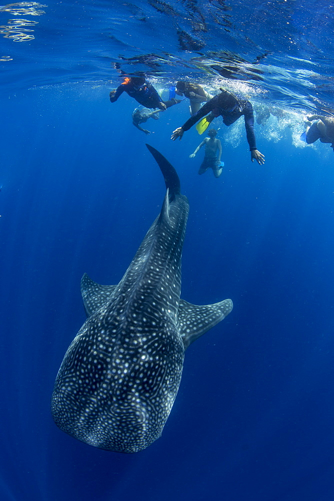Tourists snorkelling with a whale shark (Rhincodon typus) in Honda Bay, Palawan, the Philippines. - 939-38