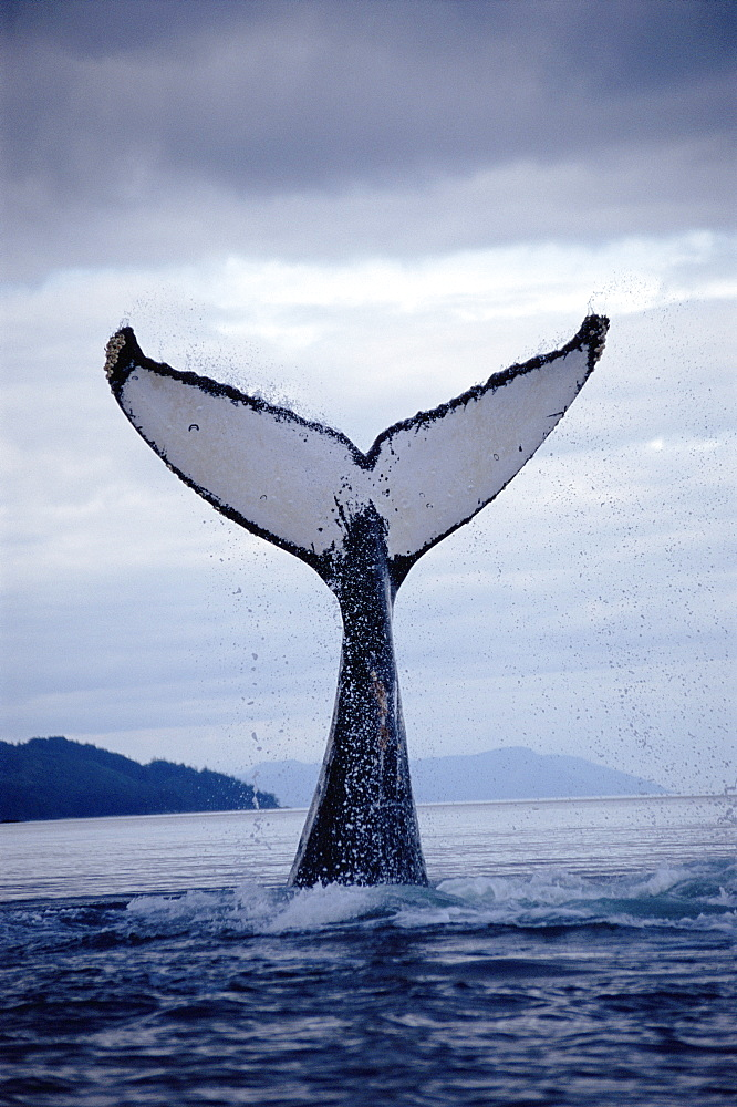 Humpback whale (Megaptera novaeangliae) fluking up to dive. Alaska - 939-9