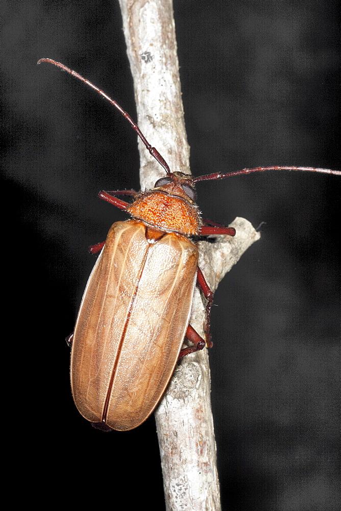 Female poinciana longicorn beetle (Agrianome spinicollis), Hopkins Creek, New South Wales, Australia, Pacific