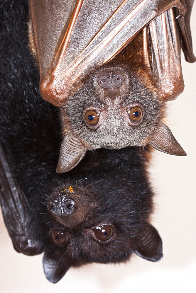 Two flying-foxes in care, juvenile male little red flying-fox (Pteropus scapulatus) and adult female black fying-fox (Pteropus alecto), Hopkins Creek, New South Wales, Australia, Pacific