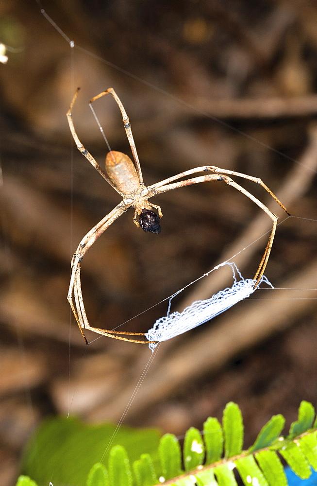 Net-casting spider (Deinopsis ravida) waiting with net, Hopkins Creek, New South Wales, Australia, Pacific