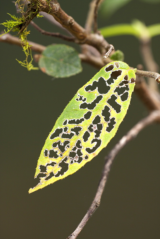 Insect damage to sandpaper fig leaf (Ficus coronata), Couchy Creek Nature Reserve, New South Wales, Australia, Pacific