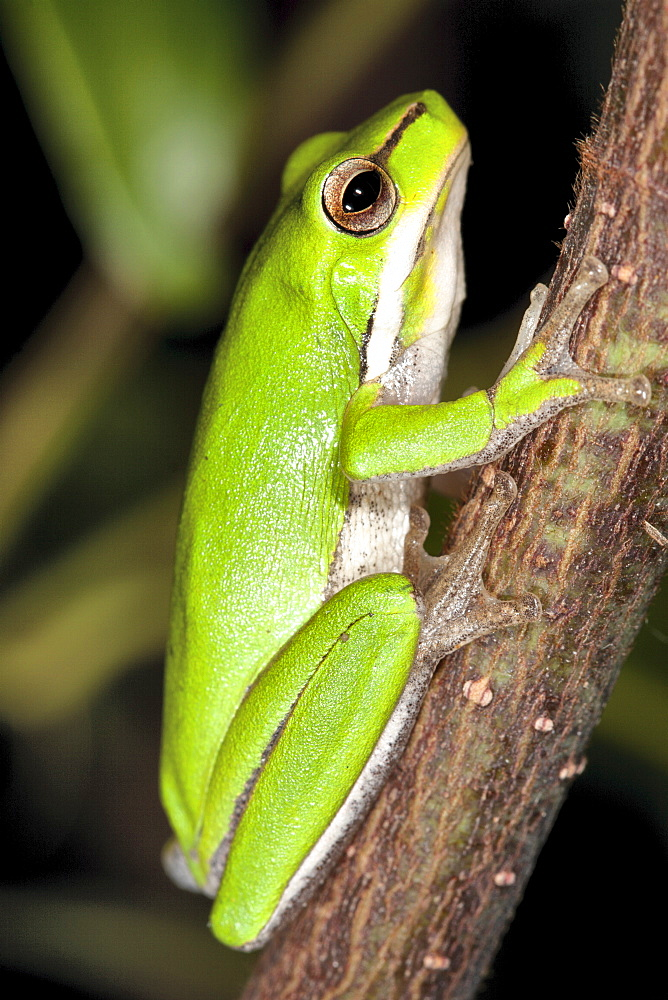 Dwarf tree frog (Litoria fallax) on branch, Hopkins Creek, New South Wales, Australia, Pacific