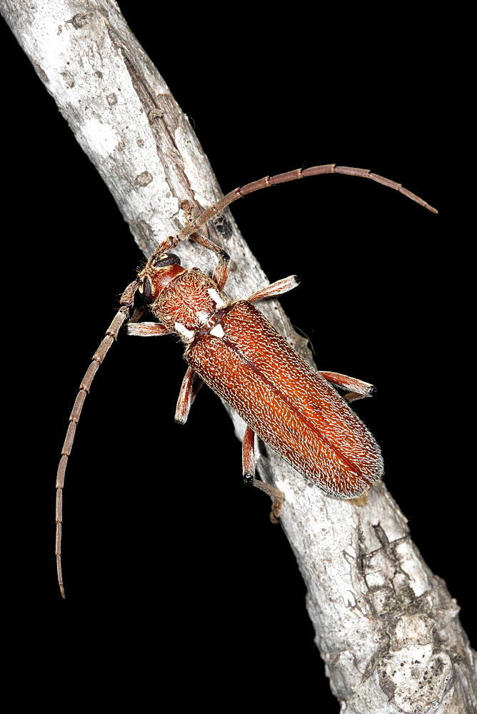 A Longicorn beetle on twig, Hopkins Creek, New South Wales, Australia, Pacific