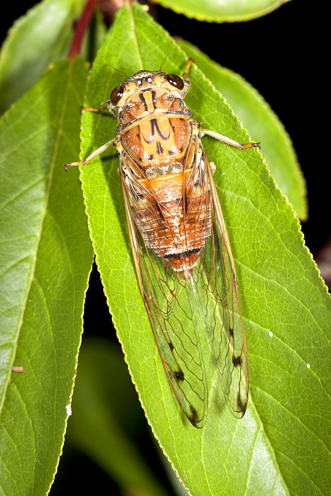 Male brown bunyip cicada (Tamasa tristigma) on leaf, Hopkins Creek, New South Wales, Australia, Pacific