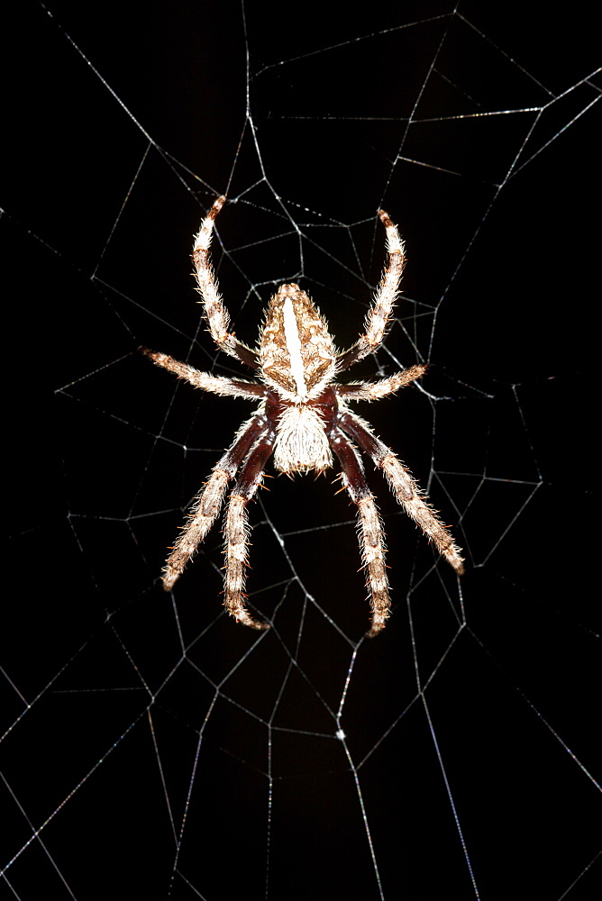 Female garden orb-weaver spider (Eriophora biapicata) in centre of her web at night, striped abdomen example, Hopkins Creek, New South Wales, Australia, Pacific