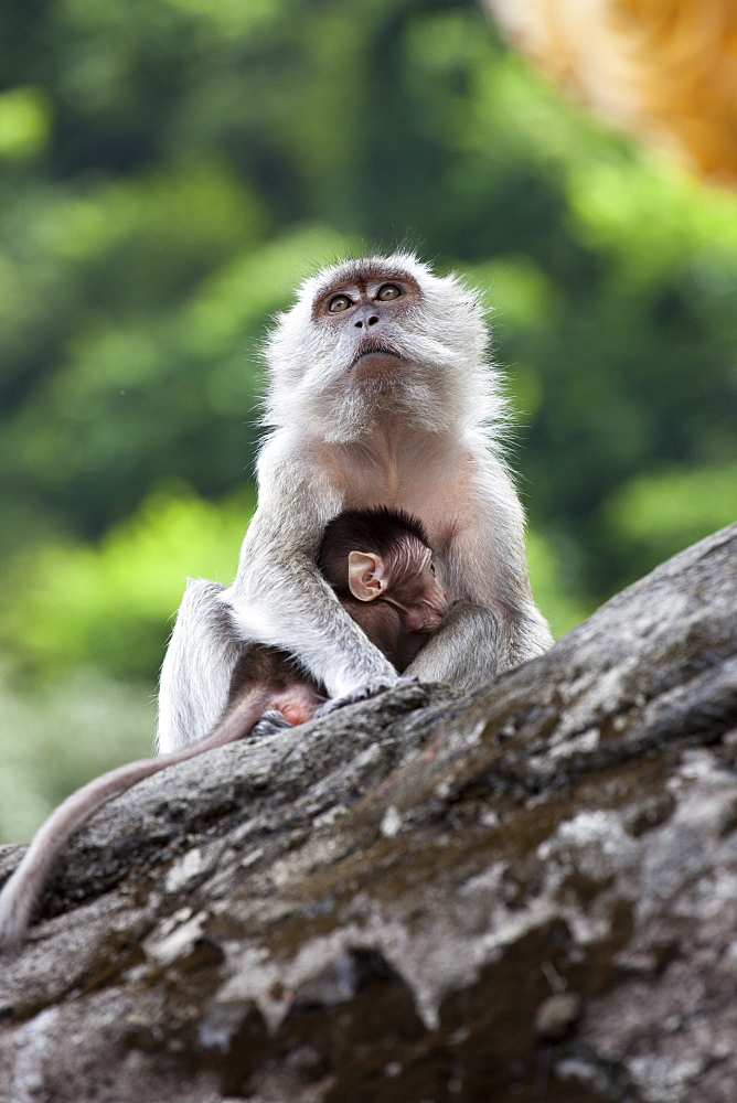 Crab-eating macaques (Macaca fascicularis) mother and baby, Batu Caves, Malaysia, Southeast Asia, Asia