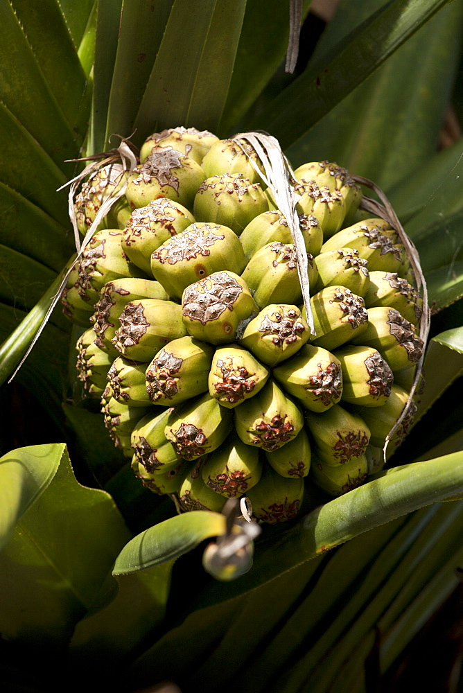 Screw pine fruit (Pandanus tectorius), Fingal Heads, New South Wales, Australia, Pacific
