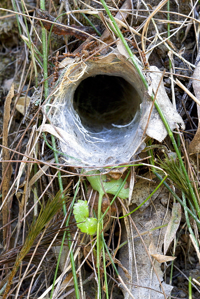 Burrow entrance of brown trapdoor spider (Arbanitis longipes) in embankment, Couchy Creek Nature Reserve, New South Wales, Australia, Pacific