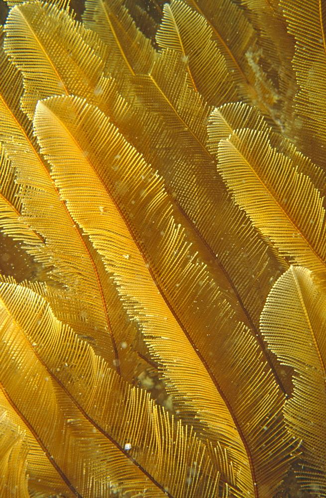 Detail of soft, golden Sea Pen. UK.