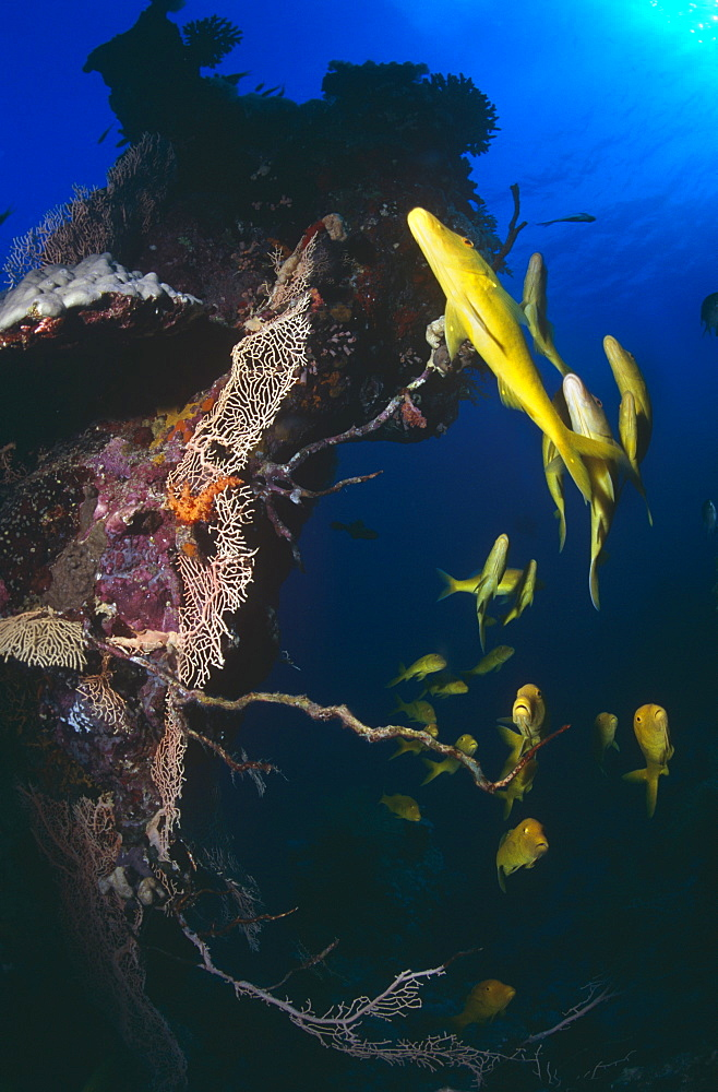 Small school of Yellow Goat fish (Mulloides vanicolensis) swimming over reef. Red Sea.