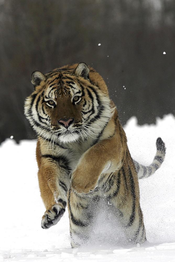 Siberian Tiger (Panthera tigris altaica) captive adult male, critically endangered. Bozeman, Montana.