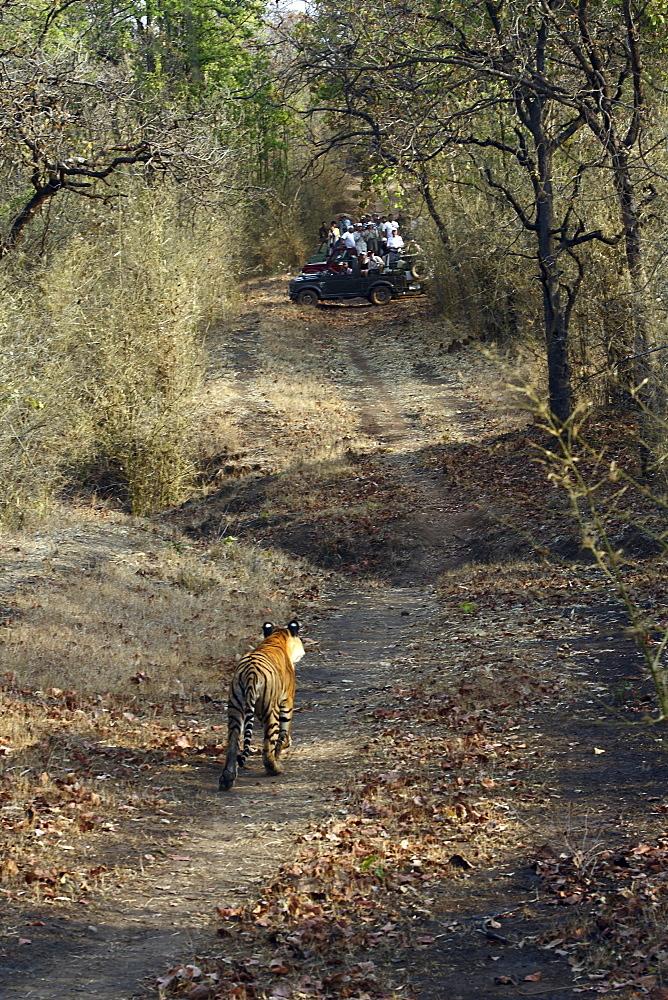 Bengal Tiger (Panthera Tigris Tigris) wild sub-adult male, critically endangered. Bandhavgarh Tiger Reserve, India.