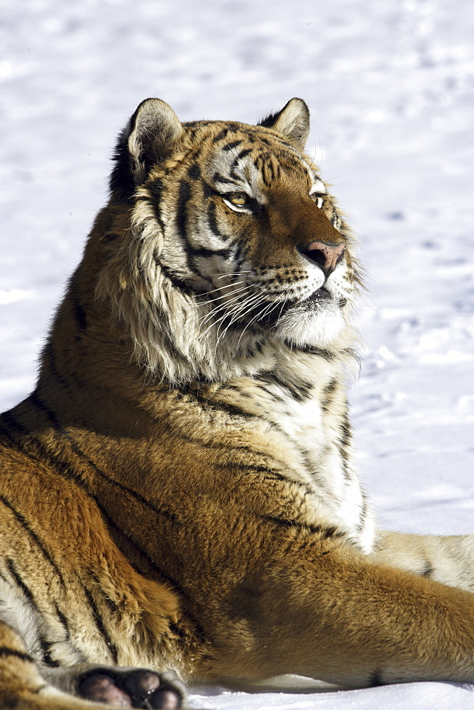 Siberian Tiger (Panthera tigris altaica) captive adult male, critically endangered. Bozeman, Montana.