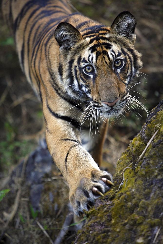 Bengal Tiger (Panthera tigris tigris) wild male cub, critically endangered. Bandhavgarh Tiger Reserve, India.