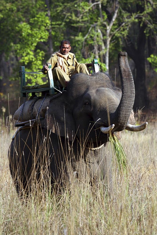 Asian Elephant, Indian Elephant and Mahout (Elephus maximus indicus) captive adult male and Mahout. Bandhavgarh Tiger Reserve, India,