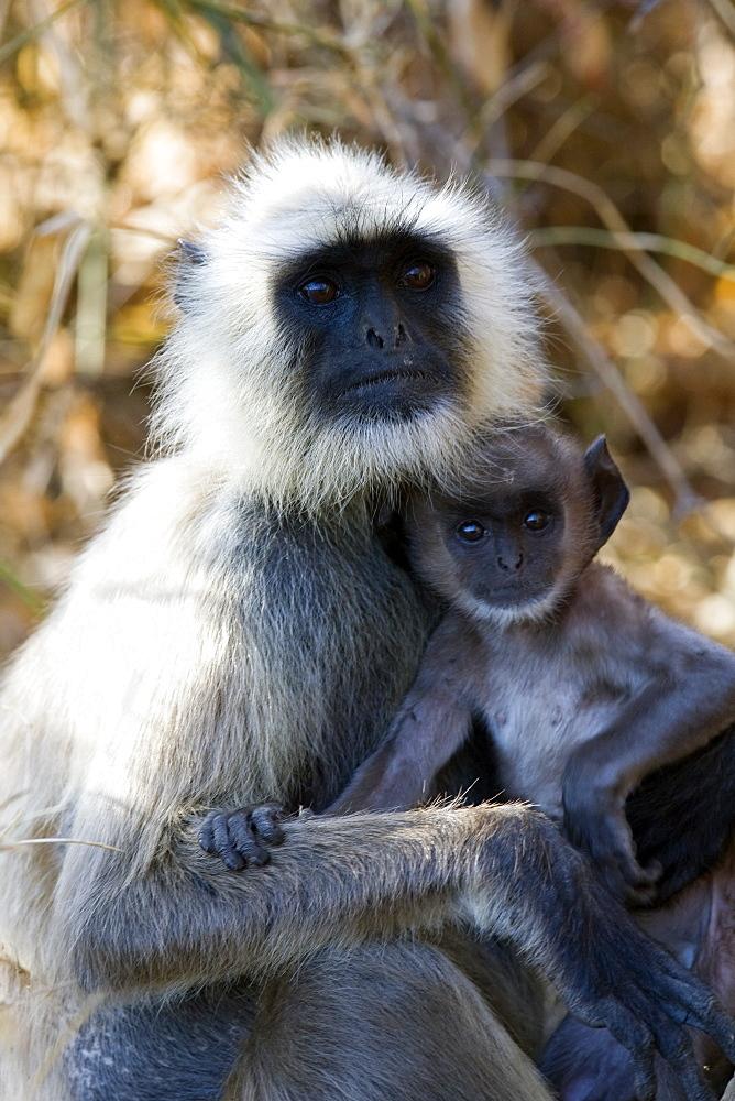 Common Langur Monkey (Semnopithecus entellus) wild adult female with juvenile. Bandhavgarh Tiger Reserve, India