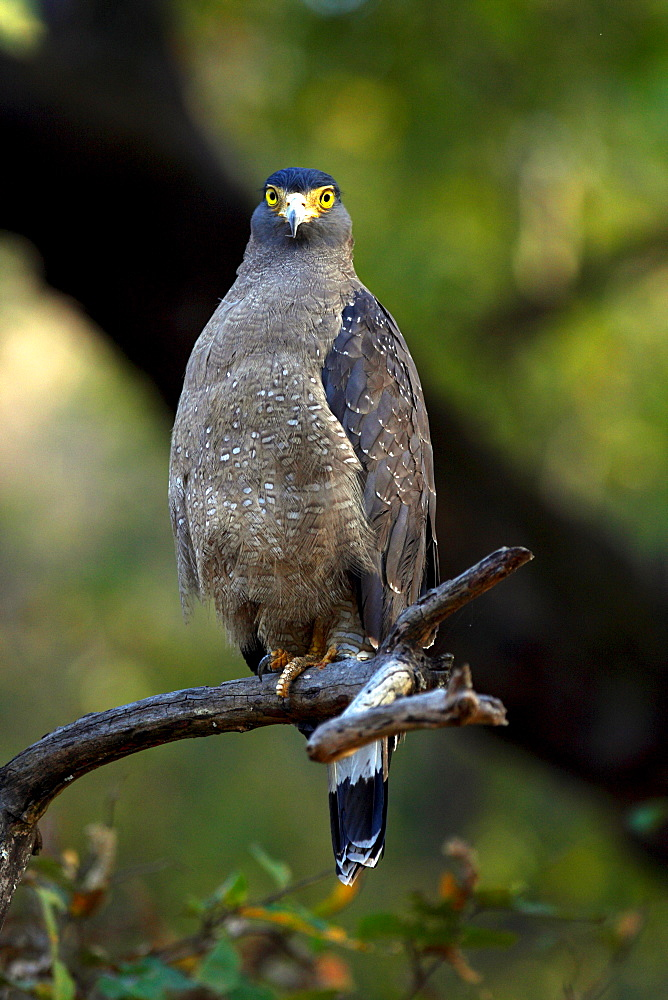 Crested Serpent Eagle (Spilornis cheela), wild. Bandhavgarh Tiger Reserve, India
