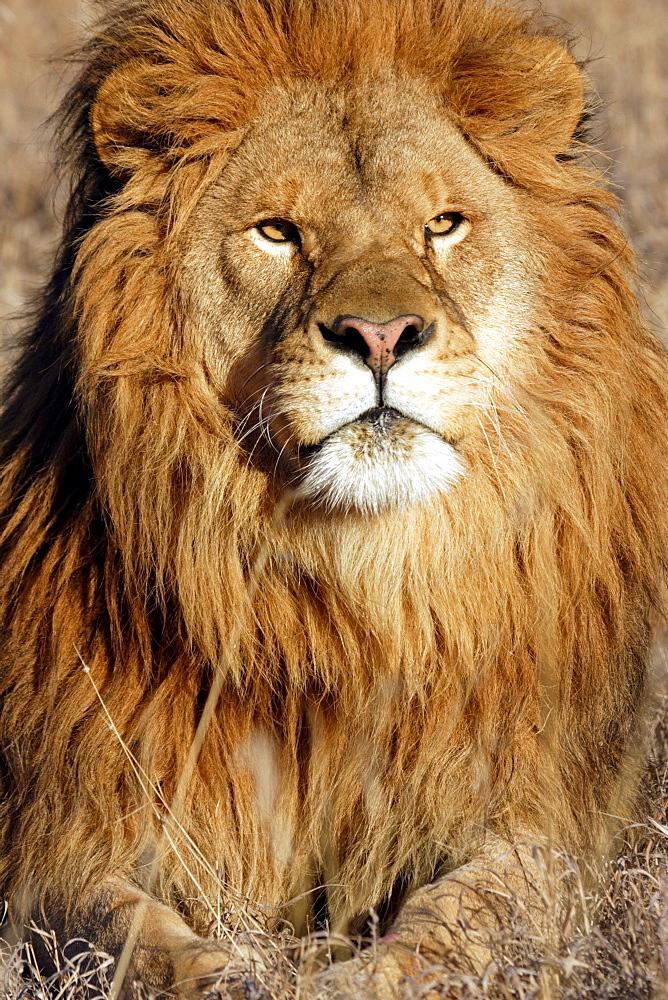African Lion (Panthera Leo) captive adult male lion. Bozeman, Montana.