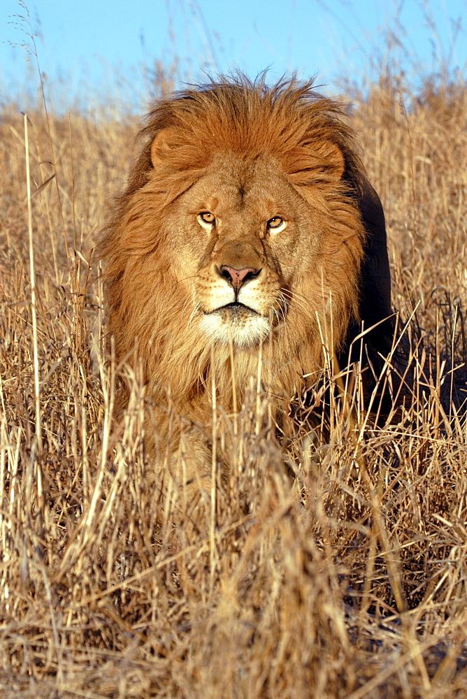 African Lion (Panthera Leo) captive adult male. Bozeman, Montana.