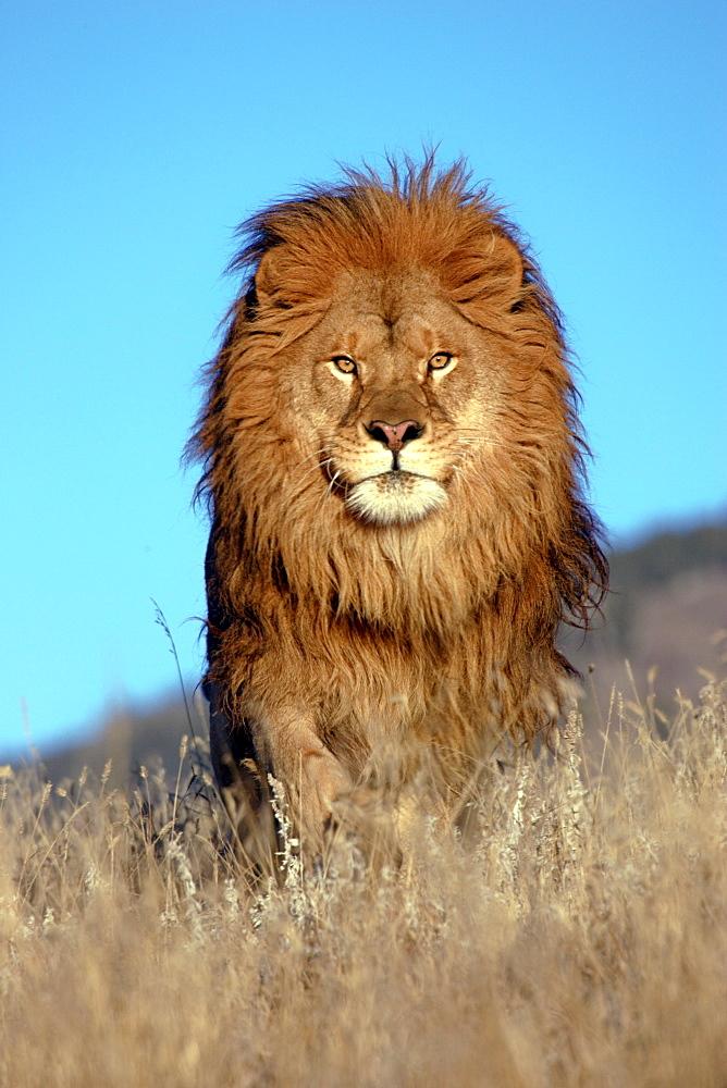 African Lion (Panthera Leo) captive adult male. Bozeman. Montana.