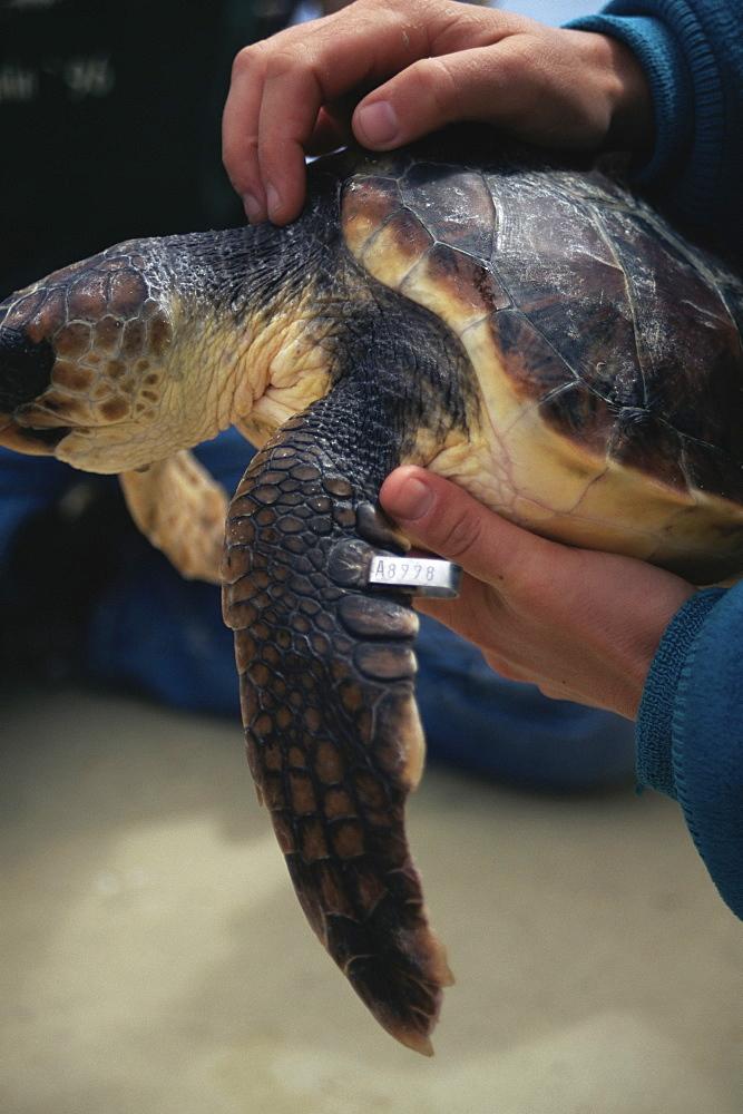 Loggerhead Turtle (Caretta caretta) with flipper tag. Azores