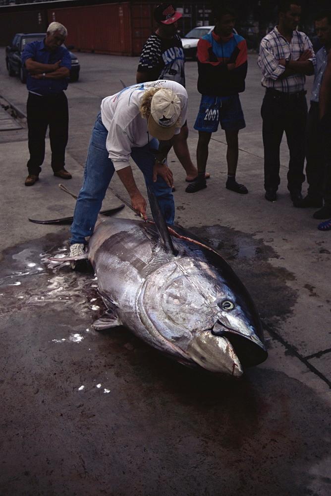 Bluefin Tuna (Thunnus thynnus) caught by big game boat. Azores