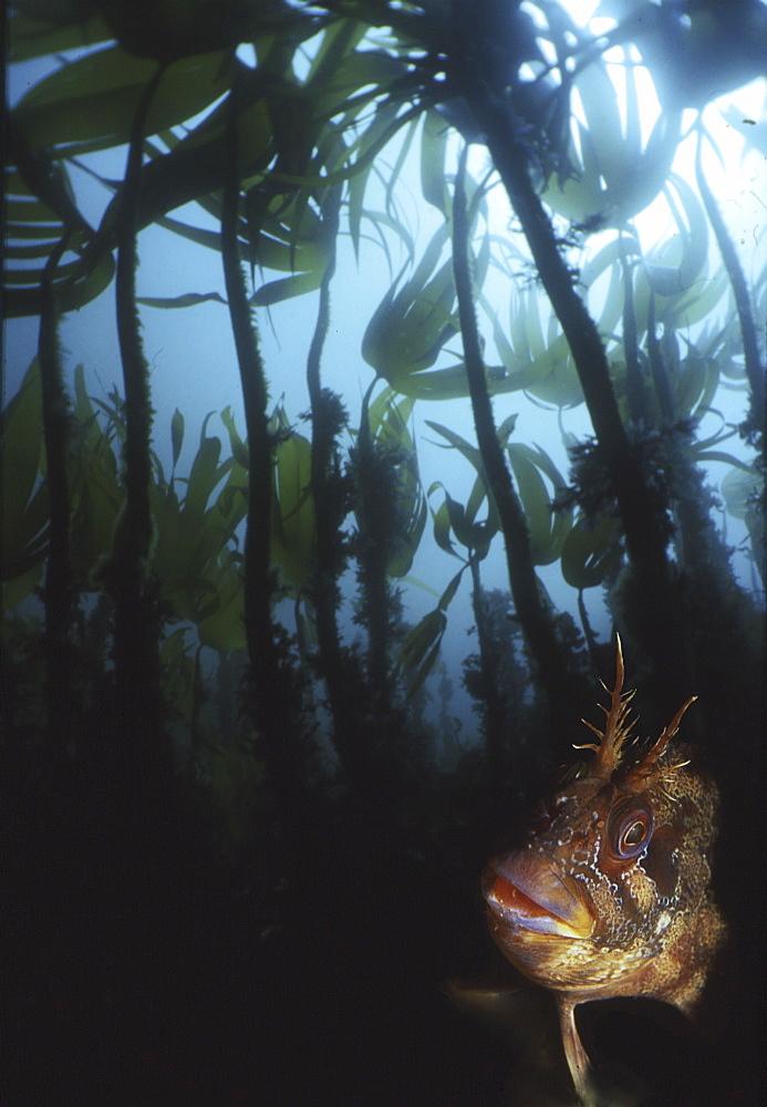 Tompot Blenny (Parablennius gattorugine), head of tompot blenny under kelp forest, Isle of Man, UK