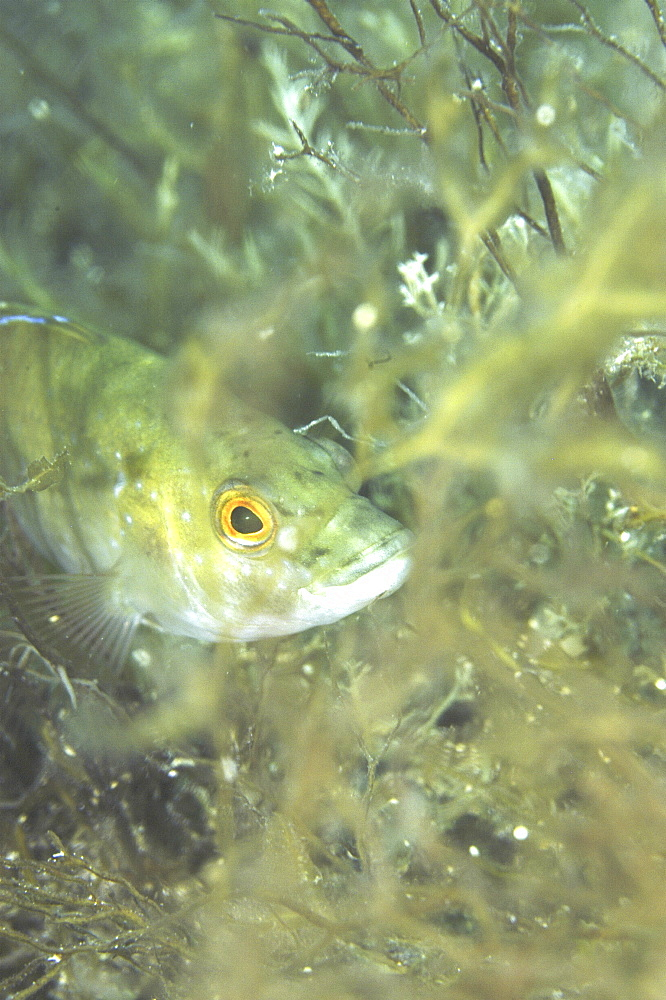 Green wrasse (Labrus viridus) hiding amongst algae with head clearly showing, Malta, Maltese Islands, Mediterranean