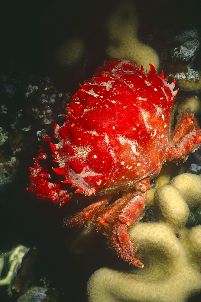 Red-ridged clinging crab (mithrax forceps). Cayman Islands.