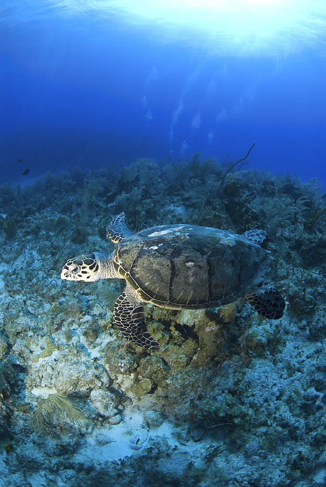 Hawksbill Turtle (Eretmochelys imbriocota), swimming over coral reef,  Little Cayman Island, Cayman Island, Caribbean