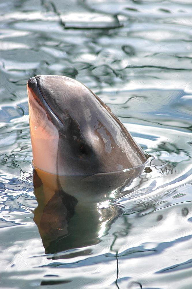 Spy-hopping Harbour porpoise (Phocoena phocoena) captive Kerteminde, Denmark   (RR)