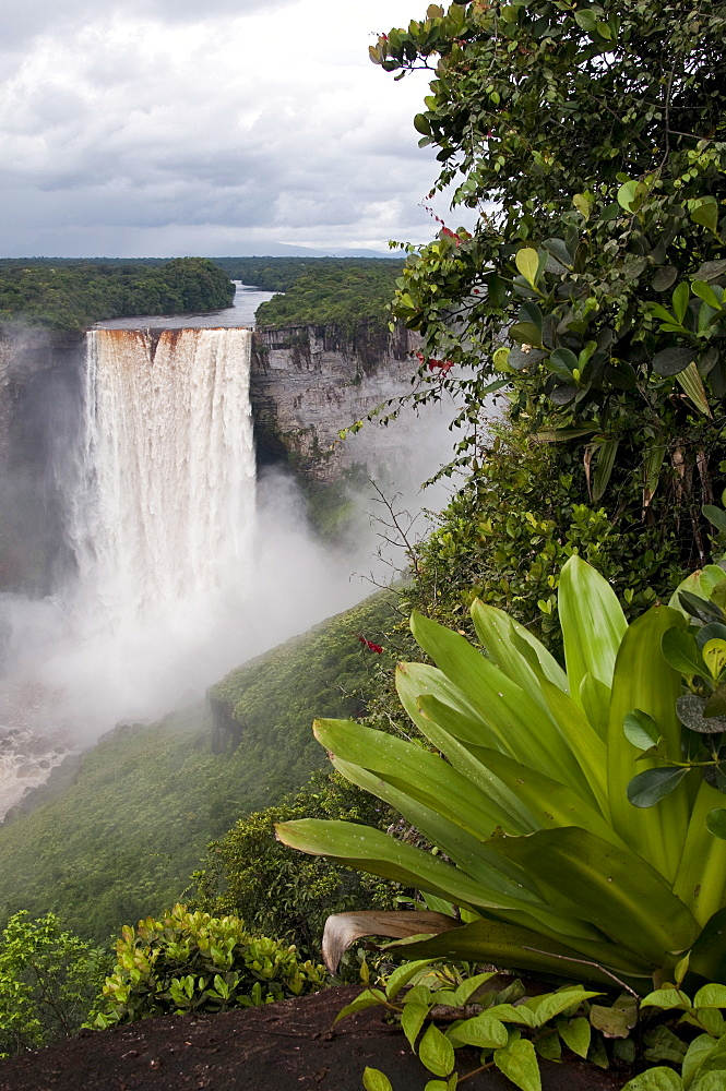 Giant Tank Bromeliad (Brocchinia micrantha) with Kaieteur Falls in the background, Kaieteur National Park, Guyana, South America - 971-51