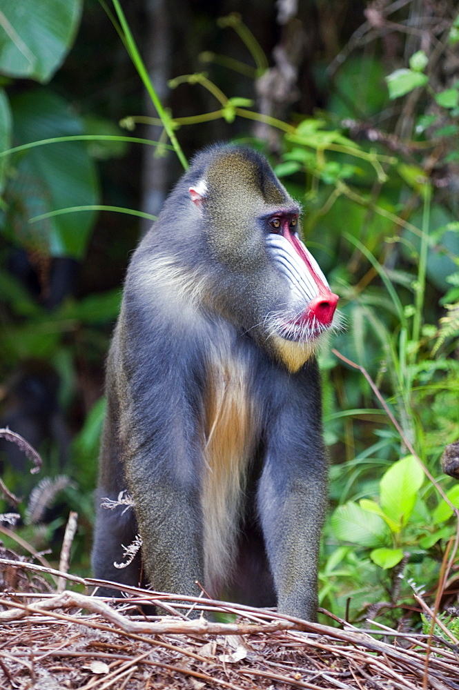 Male mandrill (Mandrill sphinx), Parc de la Lekedi, Haut-Ogooue, Gabon, Africa - 971-70