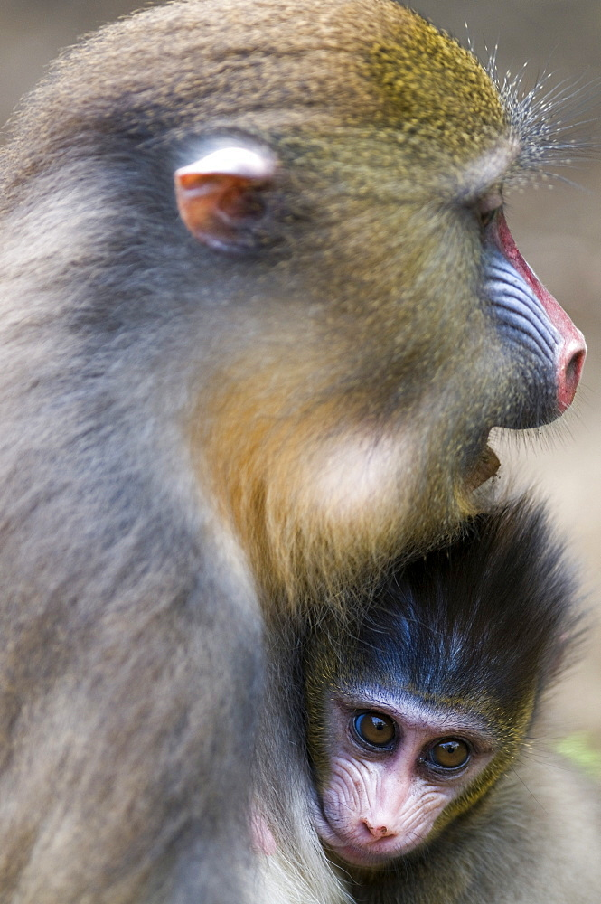 Female mandrill suckling offspring (Mandrill sphinx), Parc de la Lekedi, Haut-Ogooue, Gabon, Africa